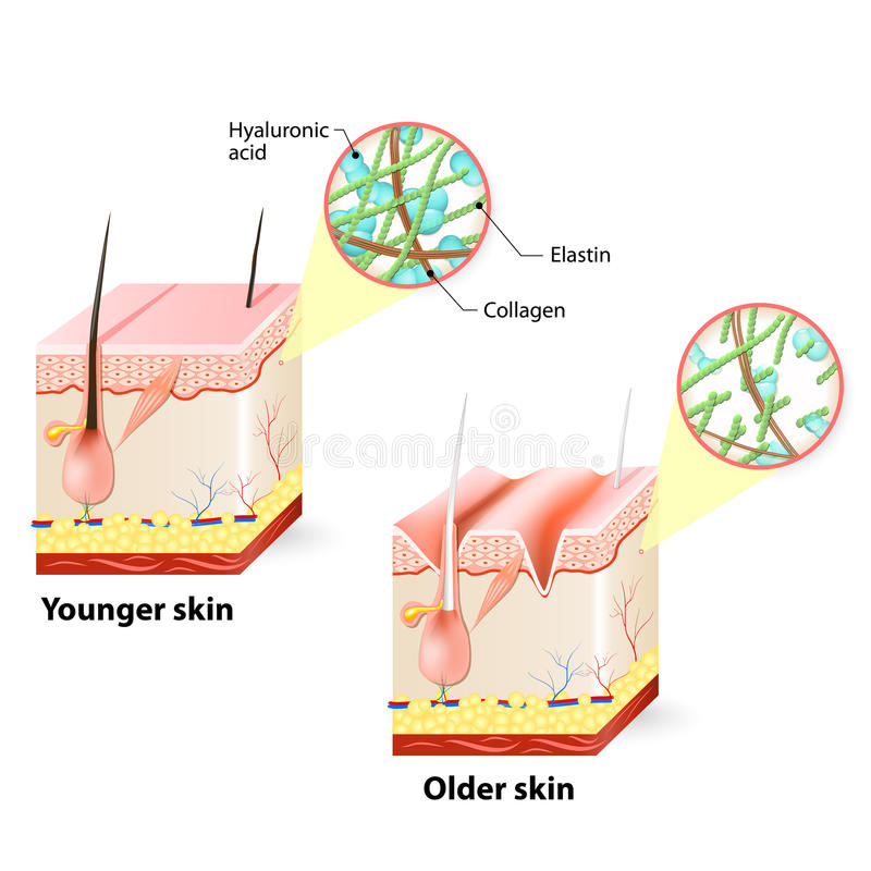 Skin aging. Visual representation of skin changes over a lifetime vector illustration