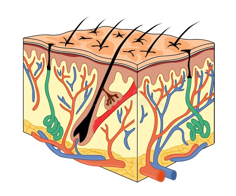 Download Skin anatomy stock vector. Image of clipart, nerve, layer - 10450982