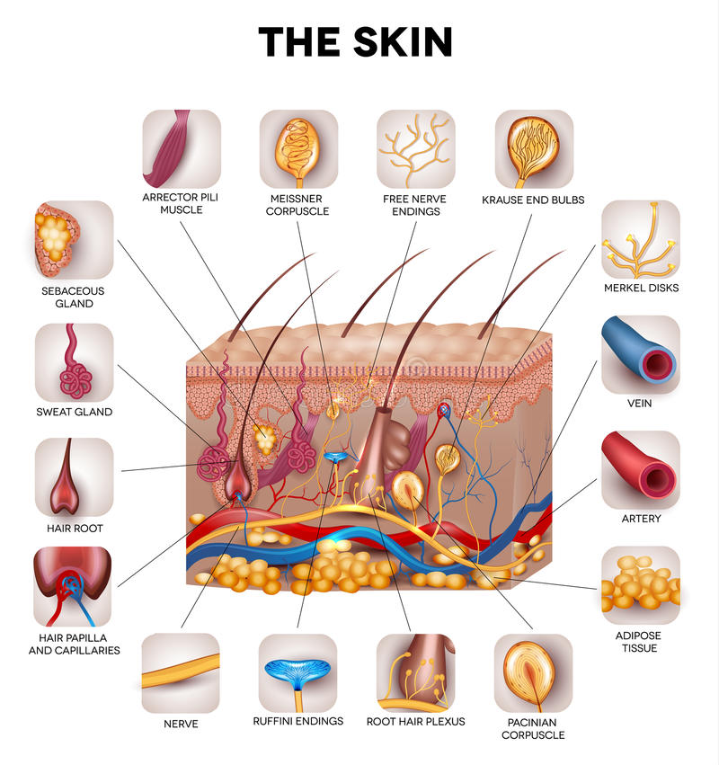 Skin anatomy. Detailed illustration. Beautiful bright colors