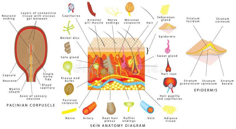 Skin anatomy diagram. Sensory receptors in skin. Human skin detailed diagram. Skin structure components vector illustration