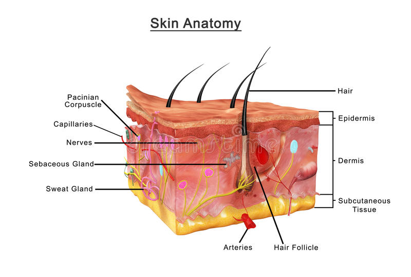 Skin Anatomy. The skin is the largest organ of the body, with a total area of about 20 square feet. The skin protects us from microbes and the elements, helps stock illustration