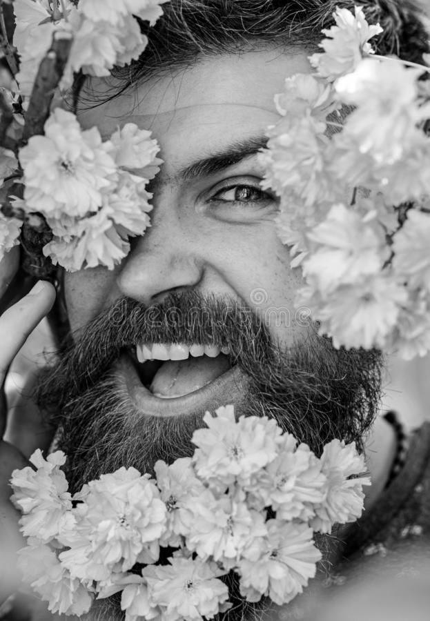 Skin care and hair care concept. Bearded male face peeking out of bloom of sakura. Hipster with sakura blossom in beard. Man with beard and mustache on happy royalty free stock photo