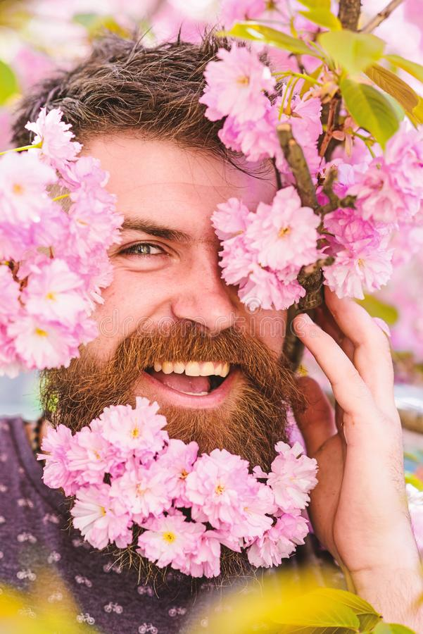 Skin care and hair care concept. Bearded male face peeking out of bloom of sakura. Man with beard and mustache on happy. Face near tender pink flowers, close up royalty free stock images
