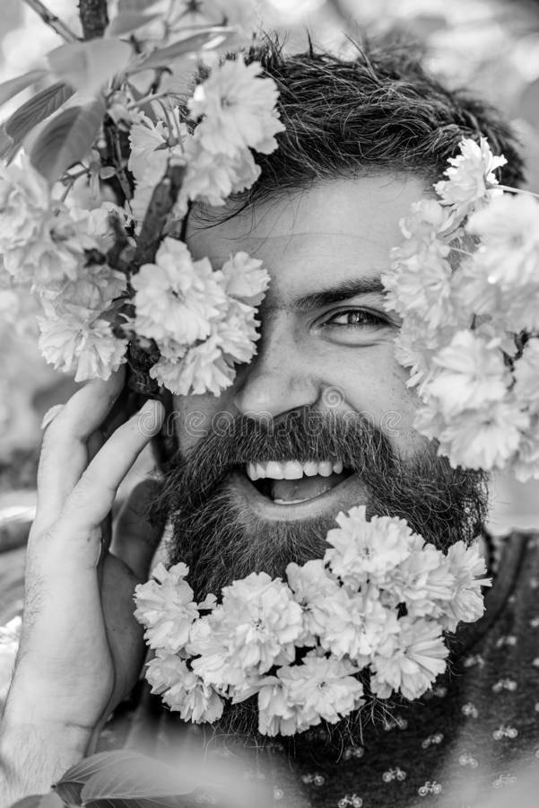 Skin care and hair care concept. Bearded male face peeking out of bloom of sakura. Man with beard and mustache on happy. Face near tender pink flowers, close up royalty free stock photography