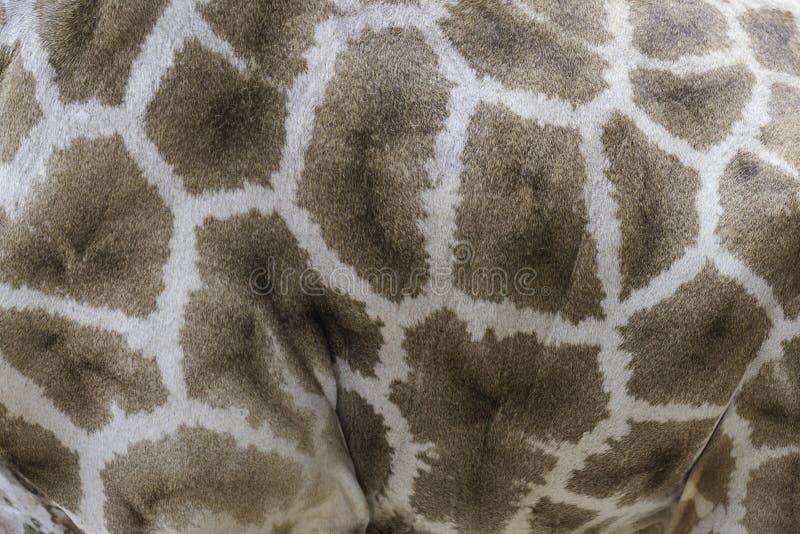 Skin giraffe texture stock images