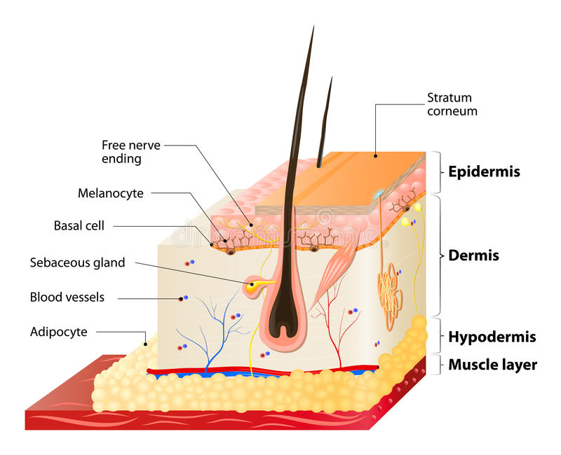 Skin layers. Layers Of Human Skin. Epidermis (horny layer and granular layer), Dermis (connective tissue) and Subcutaneous fat (adipose tissue vector illustration