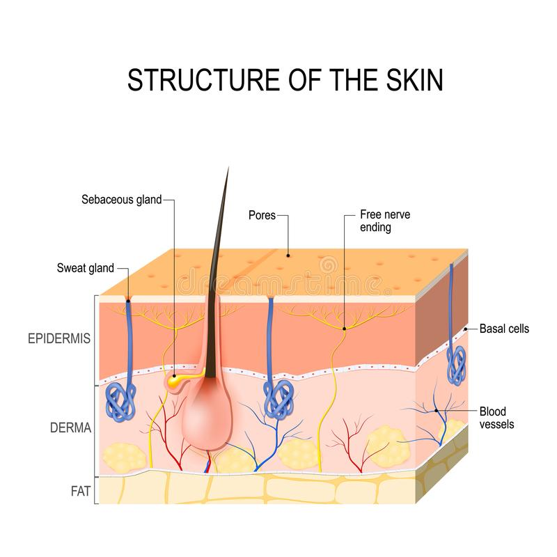 Skin Layers With Sebaceous Gland And Sweat Glands Stock Vector