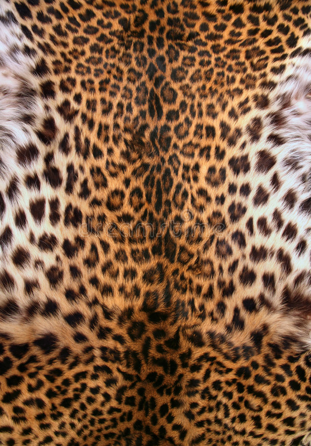 Skin of the leopard. Full screen high resolution shot of a skin of the leopard. Good for a texture or a background royalty free stock photo