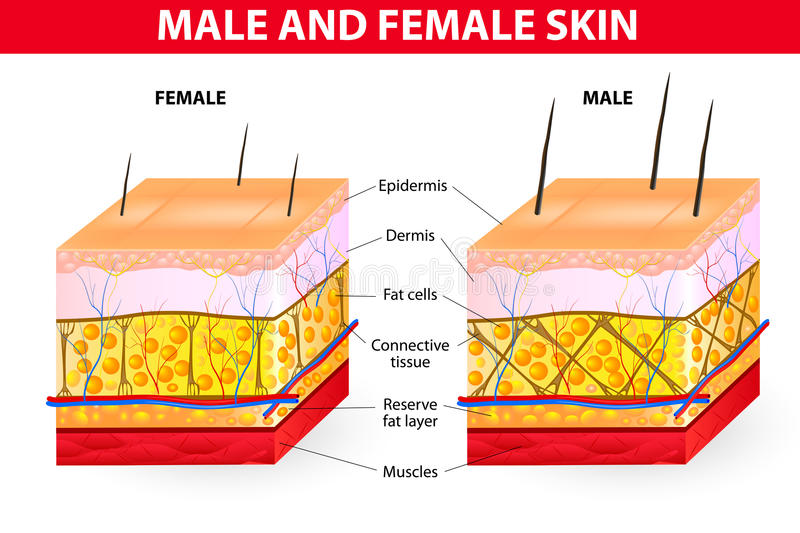 Skin male and female royalty free illustration