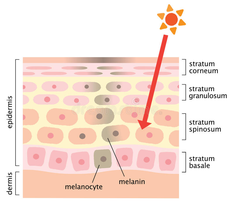 Mechanism Of Skin Cell Turnover Illustration  Melanin And