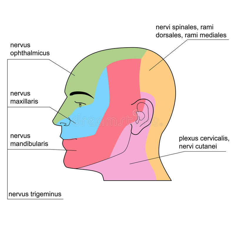 The skin nerves of of the head. stock illustration