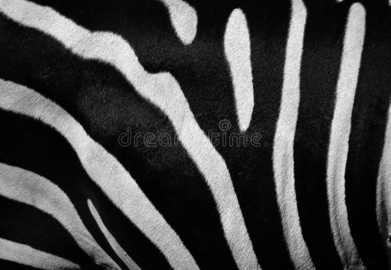 Skin of Zebras are several species of African equids. Zebras are several species of African equids horse family united by their distinctive black and white royalty free stock photos