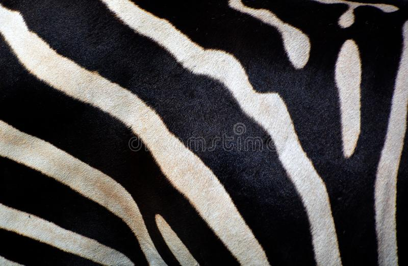 Skin of Zebras are several species of African equids. Zebras are several species of African equids horse family united by their distinctive black and white stock photography