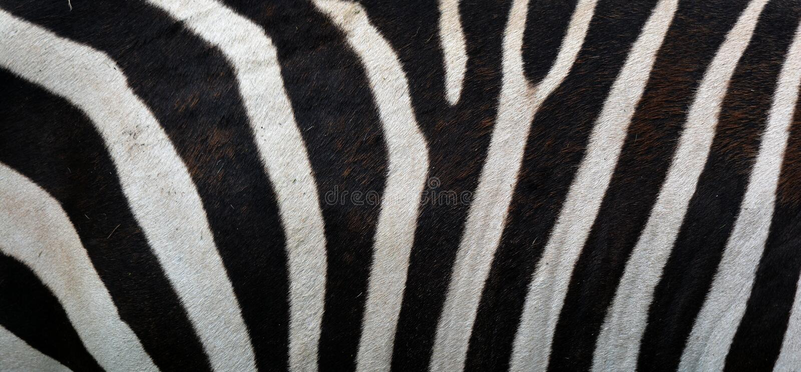 Skin of Zebras are several species of African equids. Zebras are several species of African equids horse family united by their distinctive black and white royalty free stock photography