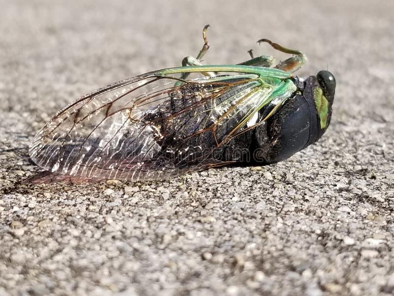 Skina den gröna och svarta cikadan fotografering för bildbyråer