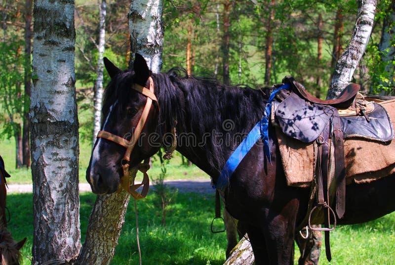 Skinande svart häst framme av träd royaltyfria bilder