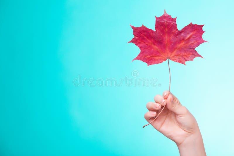 Skincare Hand med lönnlövet som röd torr hårfin hud för symbol royaltyfri fotografi