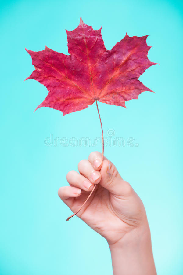 Skincare Mão com a folha de bordo como a pele capilar seca vermelha do símbolo fotografia de stock