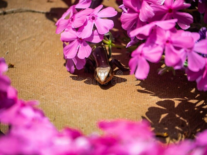 Skink alinhado do japon?s cinco que esconde nas flores 1 foto de stock royalty free