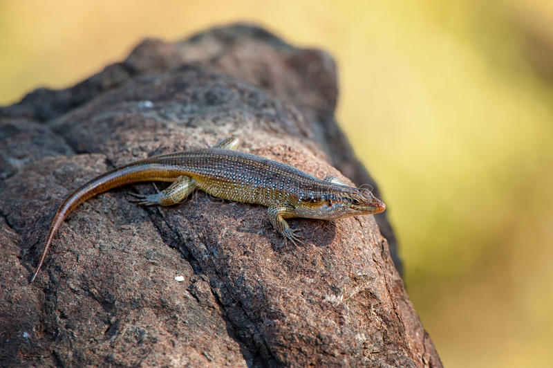 Skink aux yeux de serpents (Panaspis Wahlbergi) image stock