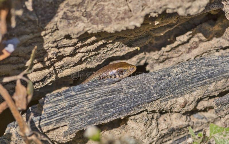 Skink del bronce-detrás - macularia de Eutropis ocultado en registro putrefacto del árbol imagenes de archivo