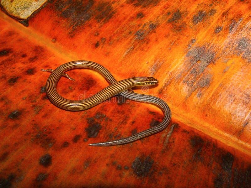 Skink flexível alinhado, lineata de Lygosoma, Pune, Maharashtra fotos de stock royalty free
