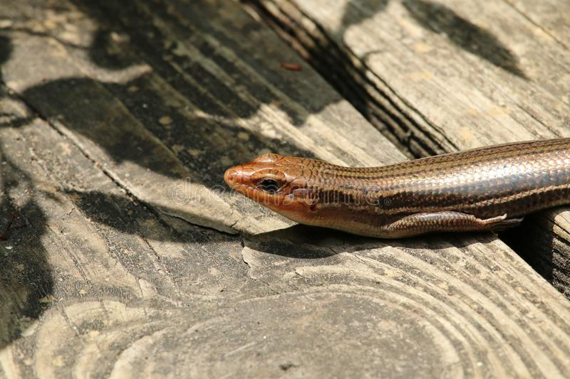 Five Lined Skink Lizard stock image
