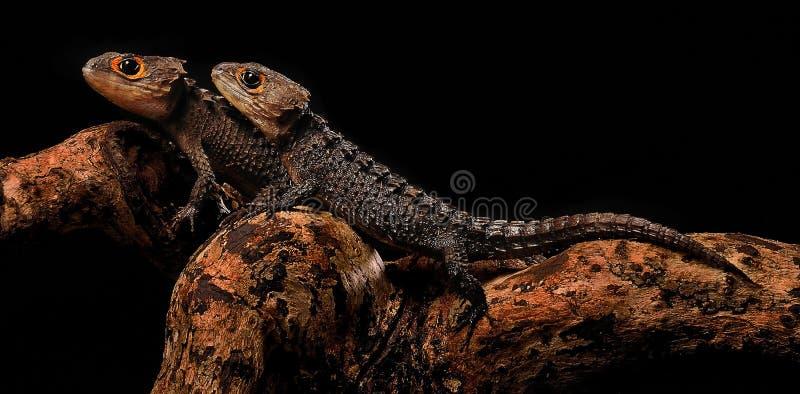 Skink vermelho do crocodilo do olho fotografado com fundo preto imagens de stock