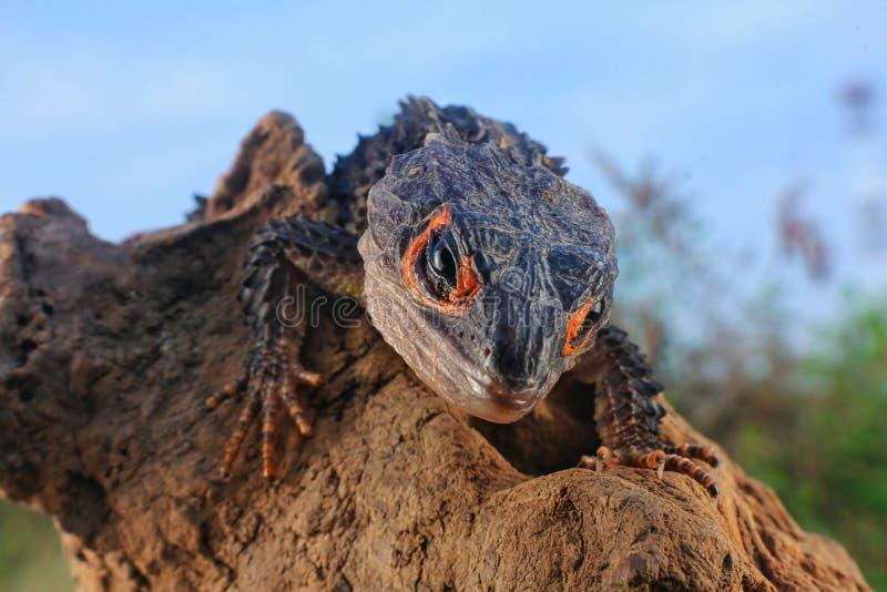 Skinks Arancio-osservati del coccodrillo fotografia stock