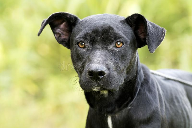 Skinny black Lab Pitbull mix breed dog adoption photograph. In heat female Pit Bull and Labrador mixed breed dog outdoors on leash. Thin and skinny, flakey skin royalty free stock photo