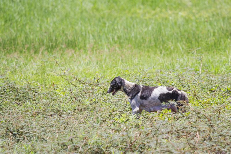 The skinny dog walks in the grass forest in the daytime.  royalty free stock image