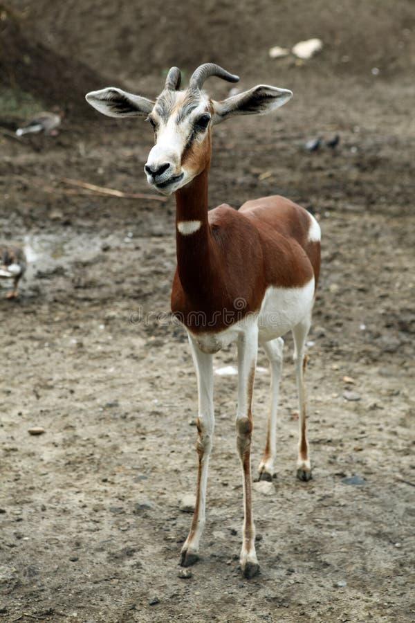 Skinny Goat Royalty Free Stock Photo