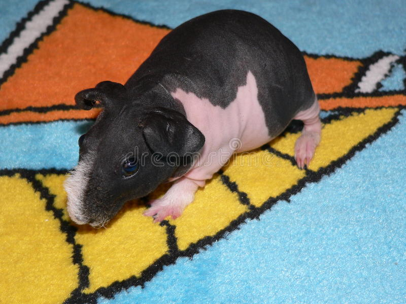 Skinny guinea pig stock photography