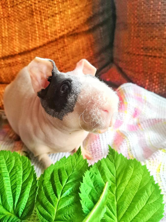 Skinny guinea pig chill royalty free stock image