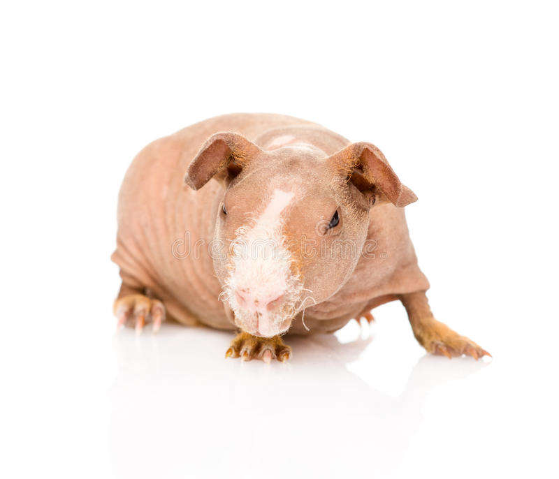 Skinny guinea pig in front. isolated on white background stock photo