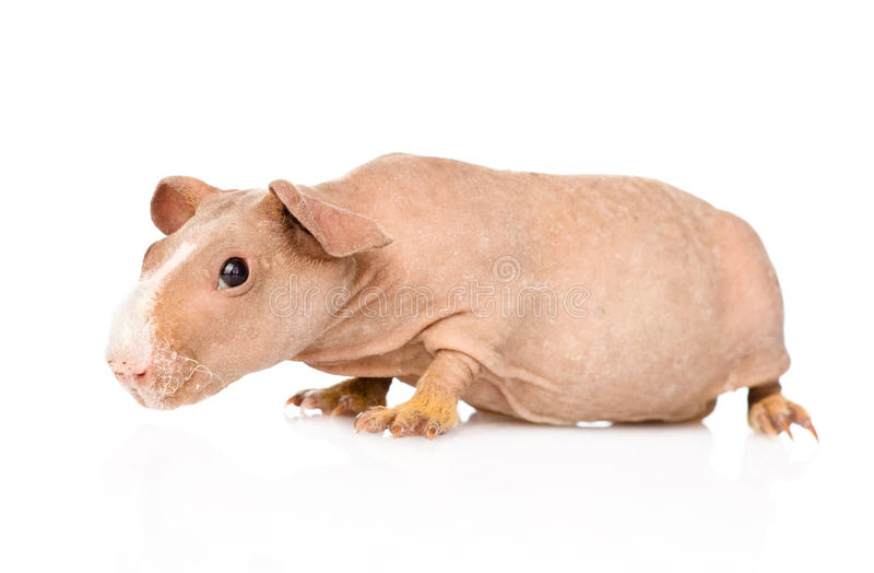 Skinny guinea pig lying in profile. isolated on white background.  royalty free stock photos