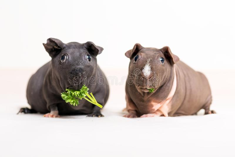 Skinny guinea pig. S isolated on a white background stock images