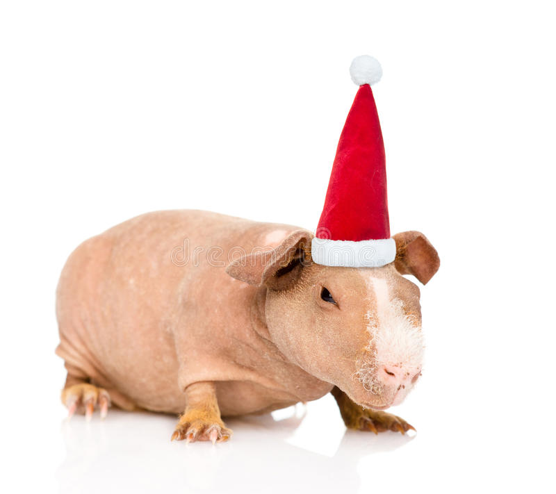 skinny guinea pig in red christmas hat. isolated on white royalty free stock photos