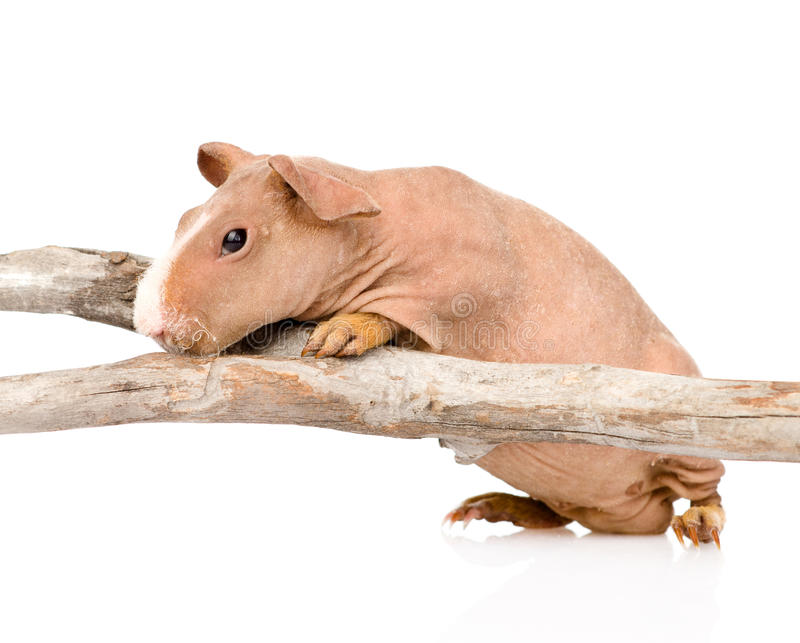 Skinny guinea pig standing in profile. isolated on white stock images