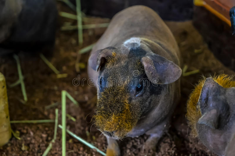 Skinny Hairless Guinea Pig stock photo