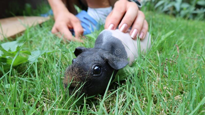 Skinny Pig – The Hairless Guinea Pig royalty free stock photography