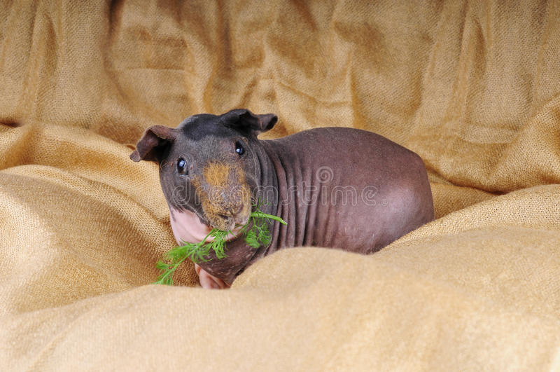 Skinny pig. On a golden coat stock images