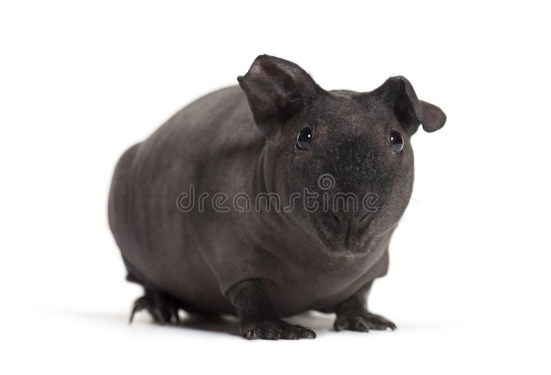 Skinny pig, Guinea pig against white background stock photography