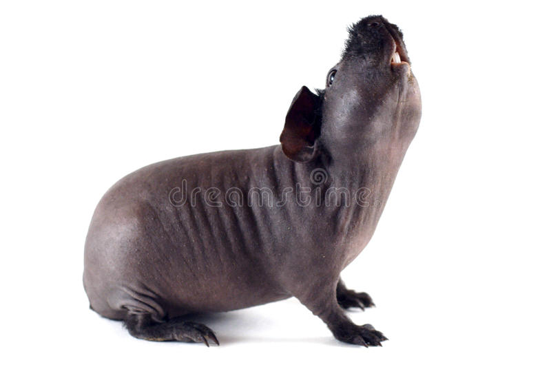 Skinny pig stretching stock photography