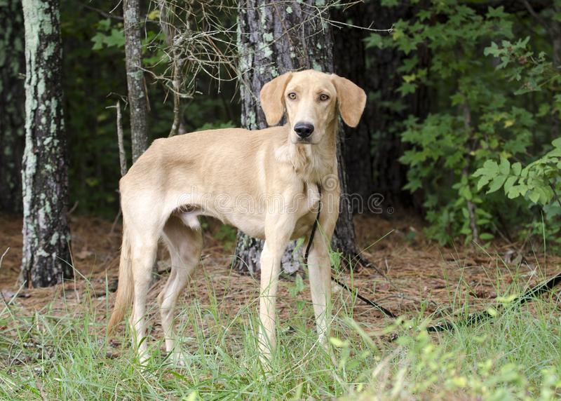 Golden Yellow Labrador Retriever Coonhound mixed breed dog. Skinny thin male golden Yellow Labrador hound mixed breed dog on leash in pine tree woods. Outdoor royalty free stock images