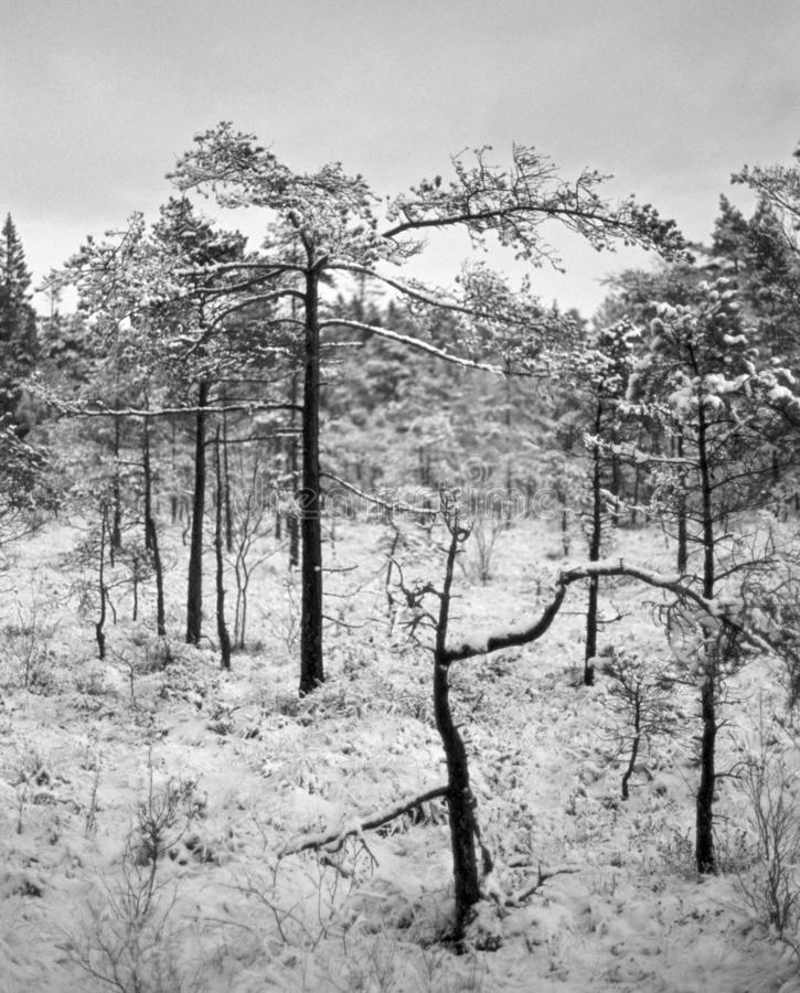 Skinny trees on the bog - shot with analogue film. Skinny trees on the bog during a nice winter day. Location: Uddevalla, Sweden. Image is taken with a full royalty free stock photos