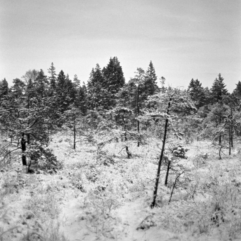 Skinny trees on the bog, square format - shot with analogue film. Skinny trees on the bog during a nice winter day. Location: Uddevalla, Sweden. Image is taken stock images