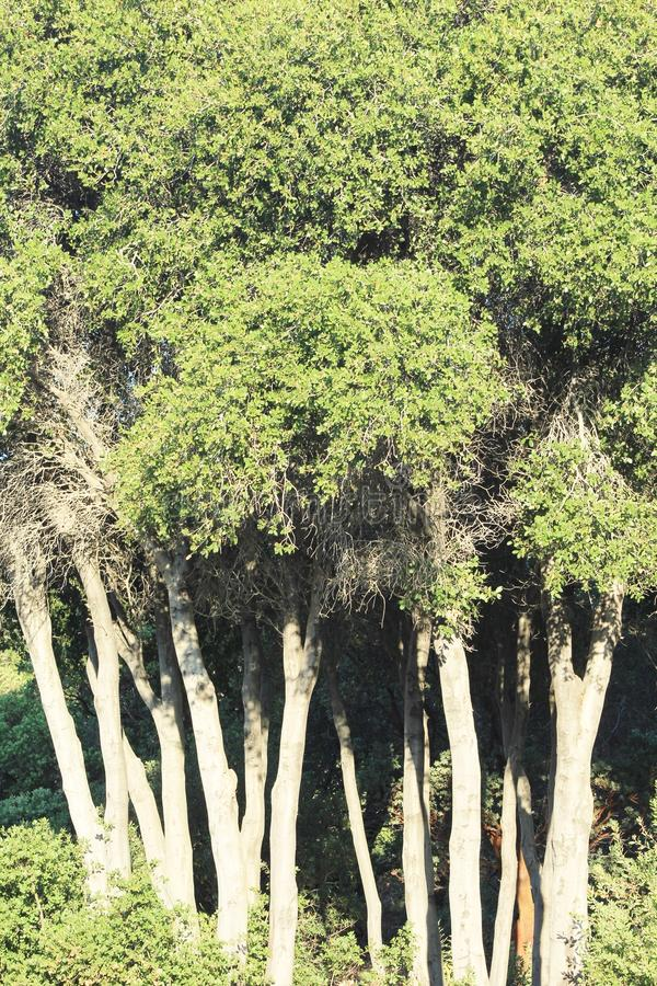 Skinny Trees. A Set of Skinny Trees royalty free stock photo