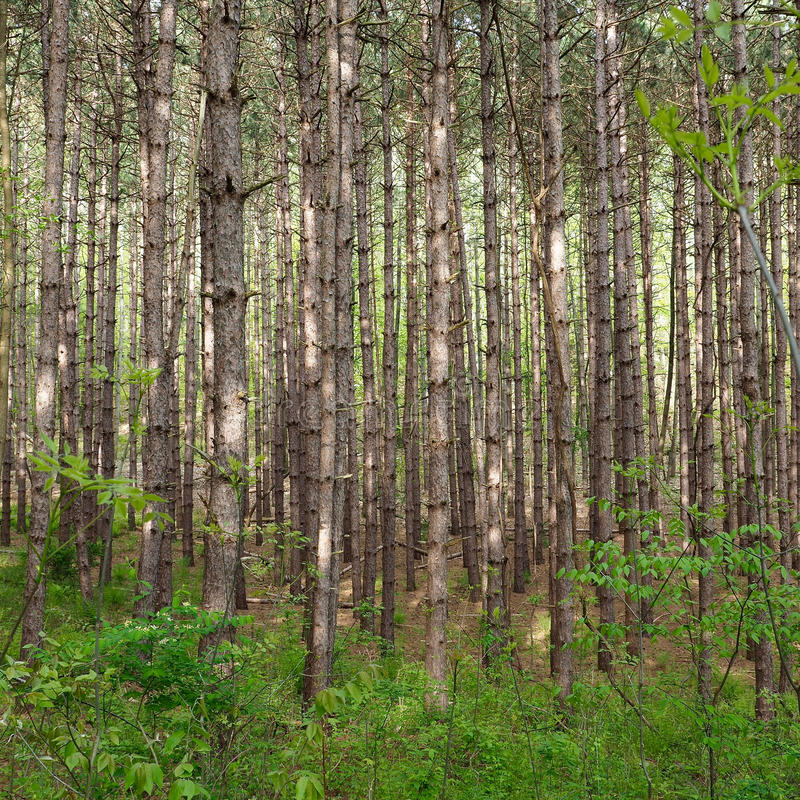 Skinny Trees. A thick forest of skinny pine trees royalty free stock photography