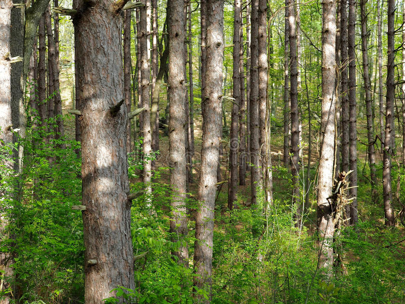 Skinny Trees. A thick forest of skinny pine trees royalty free stock photos